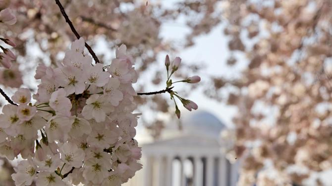 FILE - In this March 19, 2012 file photo shows blooming cherry blossoms framing the Jefferson Memorial, on the Tidal Basin in Washington. The bloom season is one of a number around the country this spring celebrating flowers in season.  (AP Photo/Charles Dharapak, File)