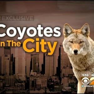 Expert Explains Coyotes' Presence In New York City