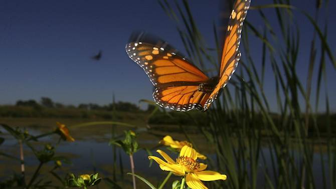 FILE - In this Friday, Oct. 19, 2007 file photo, a monarch butterfly takes flight from a wetland area at Cooks Slough Nature Park in Uvalde, Tex. as they make their yearly journey from summer homes in Canada and northern states to a winter nesting site in central Mexico. The butterflies are famous for migrating from the U.S. and Canada to Mexico for the winter. A study by researcher Marcus Kronforst of the University of Chicago released in the journal Nature on Wednesday, Oct. 1, 2014 suggests the species itself also started out in North America some 2 million years ago, instead of South or Central America. (AP Photo/San Antonio Express-News, Bahram Mark Sobhani)