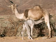 A camel feeds her calf.