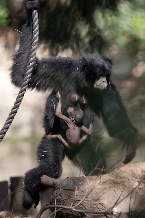New Born Siamang Gibbon In Tel Aviv Zoo