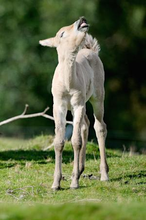 First New-Born Przewalski's Foal In Five Years At The Highland Wildlife Park
