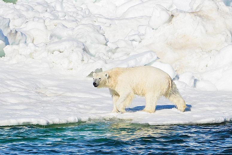 A Fitbit for Polar Bears Reveals Their Struggle to Survive