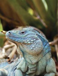 A male Grand Cayman Blue Iguana (Cyclura lewisi) at his peak.