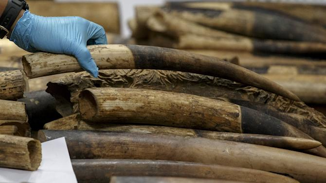 A customs officer arranges confiscated elephant tusks before a news conference at the customs department in Bangkok