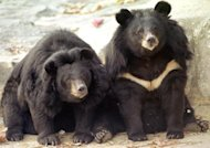 Two black bears at Kwachon Zoo in South Korea. South Korean police say they have shot dead two runaway bears who had escaped from a farm near the capital Seoul
