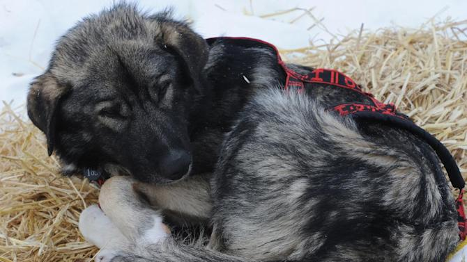 A large dog in the team of Jeff King rests in Unalakleet on  Sunday, March 10, 2013, during the Iditarod Trail Sled Dog Race. (AP Photo/Anchorage Daily News, Bill Roth)