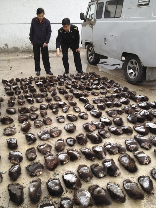 Customs officials count smuggled bear paws in Manzhouli