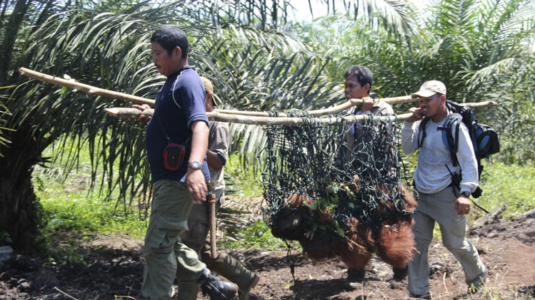 In this Oct 14, 2012. photo released by the Sumatran Orangutan Conservation Programme (SOCP), staff of Sumatran Orangutan conservation Programme carry Seuneam male Orangutan after he was trapped for several days in a forest surrounded by palm oil plantations, in Nagan Raya, Aceh, Indonesia. A critically endangered Sumatran orangutan was rescued from an isolated forest area in western Indonesia where palm oil companies have been illegally destroying the environment, a conservation group said Monday, Oct. 15, 2012. The adult male orangutan, named Seuneam, had been trapped for several days in an area surrounded by palm oil plantations and was isolated from the rest of the surviving orangutan population in Tripa swamp in the Nagan Raya district. It was found and safely evacuated over the weekend, the Sumatran Orangutan Conservation Program said. (AP Photo/Sumatran Orangutan Conservation Programme)