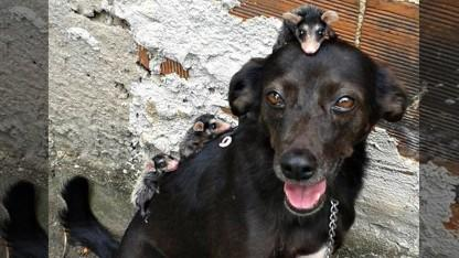 Baby Opossums Think This Dog Is Their Mom