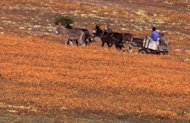 File: In this photo taken Saturday September 14 1996 a donkey cart carries passengers throughone of the world's great spectacles, the surrounding Namaqualand countryside which blooms in teeming colours best described as a psychedlic fantasy. Climate change could mean an unthinkable loss of the flowers in South Africa, which hosts talks on global warming that will bring government negotiators, scientists and lobbyists from around the world to the coastal city of Durban next week (AP Photo/Sasa Kralj-File)