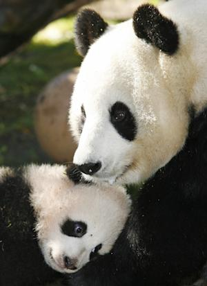 FILE - In a Dec. 21, 2007 file photo four-month-old giant panda cub Zhen Zhen, left, leans against mother Bai Yun, right, in their enclosure at the San Diego Zoo during a media preview in San Diego.  San Diego Zoo officials Sunday July 29, 2012 announced that the 20-year-old Bai Yun has given birth to her sixth cub aat the zoo. (AP Photo/Denis Poroy/file)