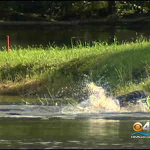Man Attacked By Gator At Weston Golf Course