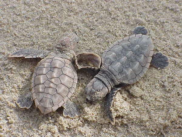 Sandy's Surge Hit Baby Sea Turtle Boom