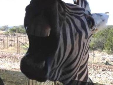 Zebra Leaves 'em Laughing in Texas