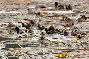 Sea Otters May Be Global Warming Warriors