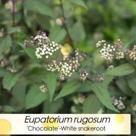 What plants are blooming in fall? Find out here Roses, toad lilies, Chocolate White snakeroot