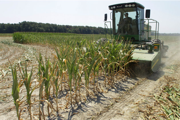Steve Niedbalski chops down his drought and heat stricken corn for feed Wednesday, July 11, 2012 in Nashville Ill. Farmers in parts of the Midwest, dealing with the worst drought in nearly 25 years, h
