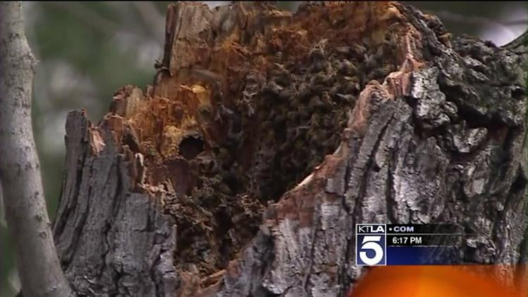2 Hospitalized After Bee Attack in La Canada Flintridge