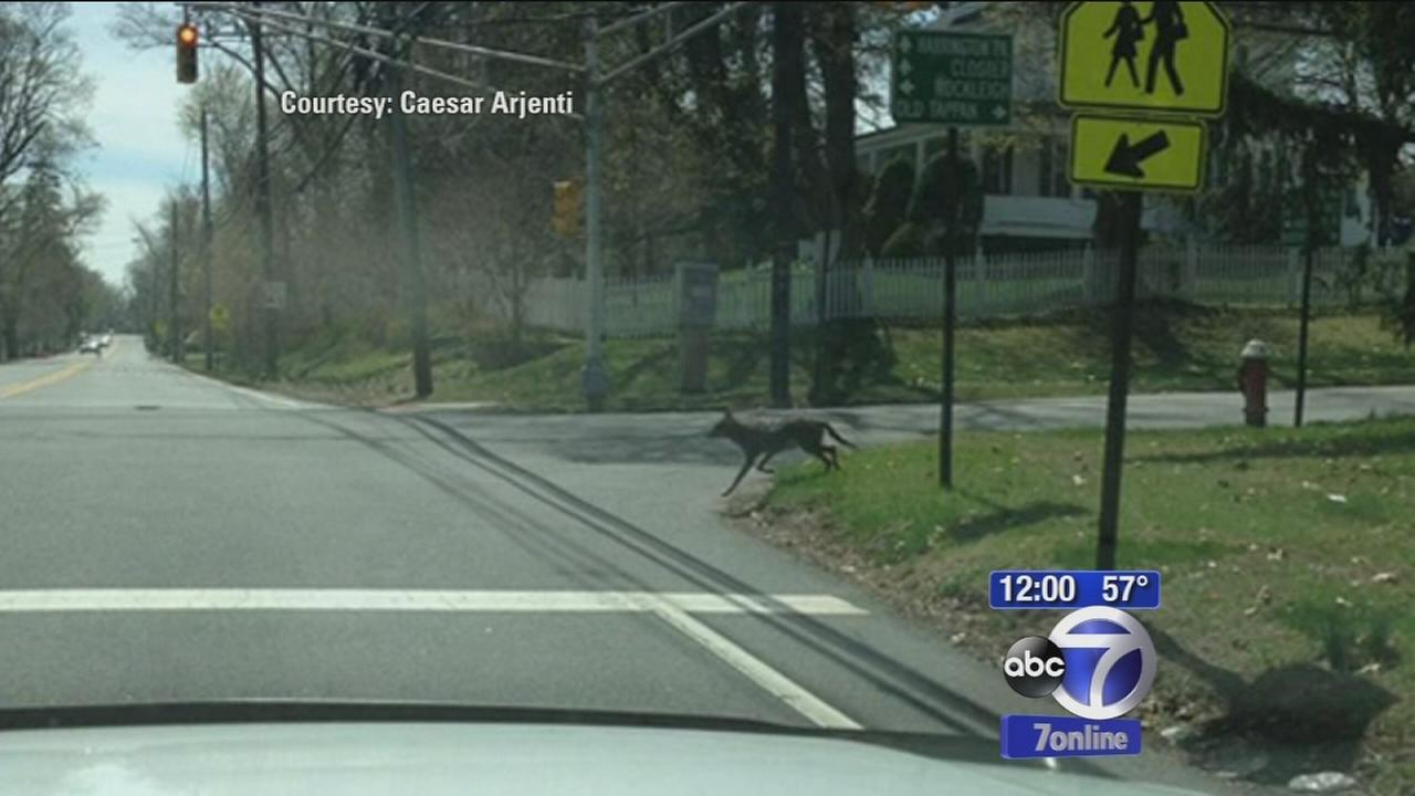 Coyote attacks in New Jersey: Police urge parents to keep children inside after dens discovered near school