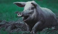 Homeland Creator Raff Joins Pig Shooting Row