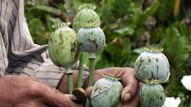 In this Feb. 14, 2006 photo released by United Nations Office on Drugs and Crime (UNODC), a villager harvest opium at a field in Myanmar's Shan state. The cultivation of illegal opium has increased in Myanmar for a sixth successive year, fueled in part by rising demand for heroin across Asia, the U.N. report said Wednesday, Oct. 31, 2012. (AP Photo/UNODC)