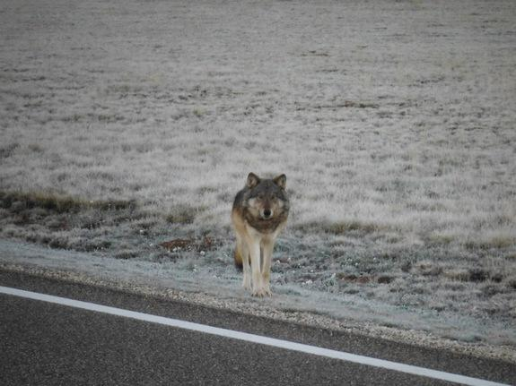 Lone Wolf Traveled More Than 450 Miles to Grand Canyon, DNA Confirms