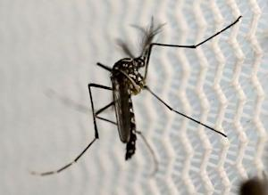 An aedes aegypti mosquito is seen inside Oxitec laboratory …