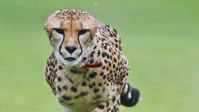 """In this Nov. 29, 2012 photo, Johari, a three-and-half-year-old female cheetah, chases after a toy during a performance on the Cheetah Run at Safari Park, in Escondido, Calif.  Johari is at top speed when her ears disappear for optimum wind resistance. One of the most popular draws at Safari Park is the 100-meter cheetah run where the public gets to see firsthand the speed of """"nature's perfect sprinter.""""  (AP Photo/Lenny Ignelzi)"""