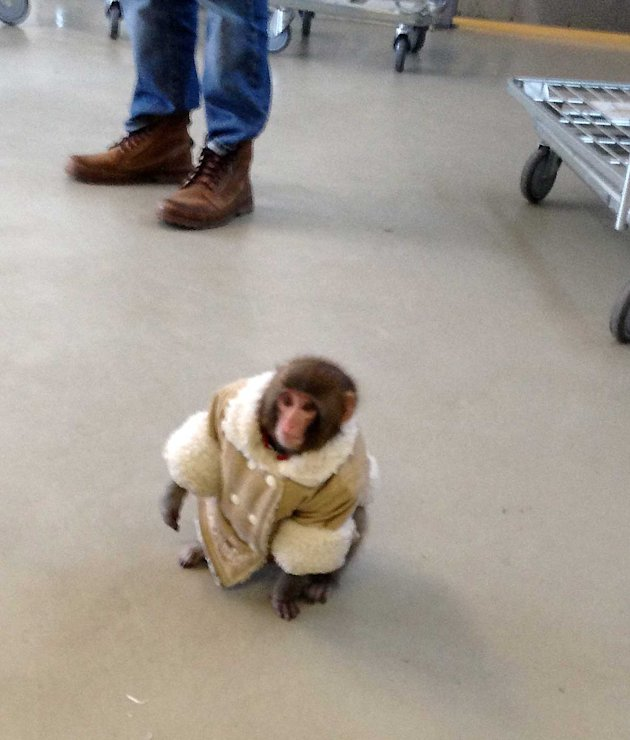 Monkey In Coat Storms Toronto Department Store Foreign