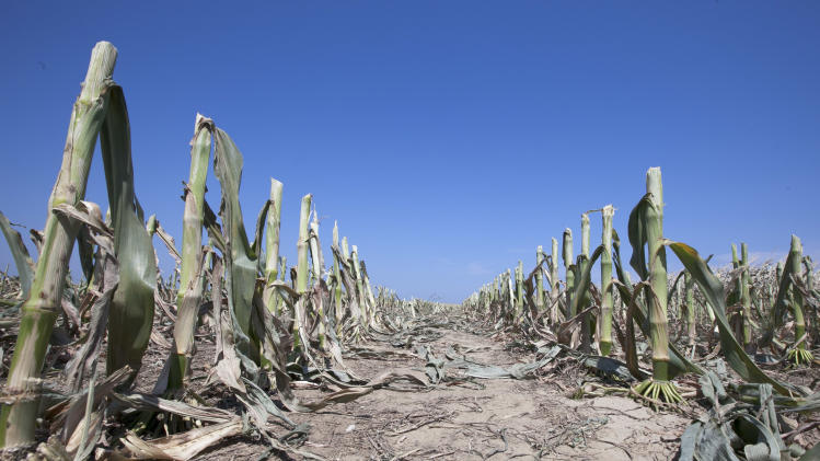 Rows of corn stalks stand under a cloudless sky south of Blair, Neb., Monday, July 23, 2012. The drought-damaged field was cut down for silage. (AP Photo/Nati Harnik)