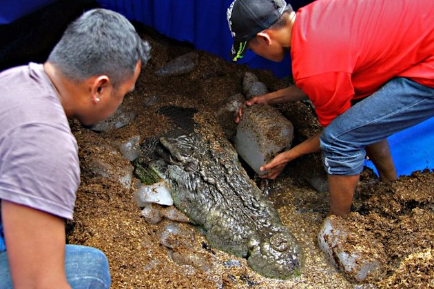 "Workers put ice blocks around the remains of the saltwater crocodile ""Lolong"", on February 11, 2013, in the southern Philippines. Veterinarians conducted an autopsy on the world's largest saltwater crocodile ever caught, amid concerns it died of mistreatment in a small pen where it was on show for tourists"