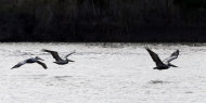 In this Monday, Dec. 17, 2012 photo, pelicans fly close to the water during an annual 24-hour Christmastime ritual to count birds along the Texas Gulf Coast in Mad Island, Texas. (AP Photo/David J. Phillip)