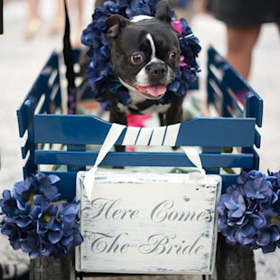 Dog in a wedding procession wagon.