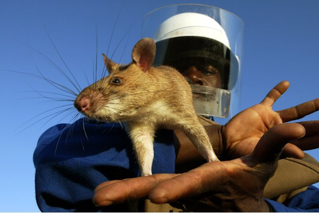 Florida Field Rat http://news.yahoo.com/photos/cat-sized-african-rats-survive-in-florida-slideshow/rat-photo-1332793841.html