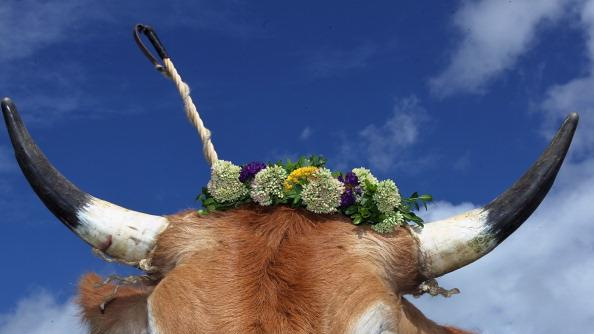 An oxen decorated with a flowers waits for the beginning of the 5th ox-racing championships (5. Muensinger Ochsenrennen) on August 26, 2012 in Muensing, Germany. The competition, which only takes place once every four years, is a race of jockeys riding bareback on oxen across a field and is complemented with a morning procession and 'ox-ball' (featuring roasted ox) in a festivities tent after the races. (Photo by Johannes Simon/Getty Images)