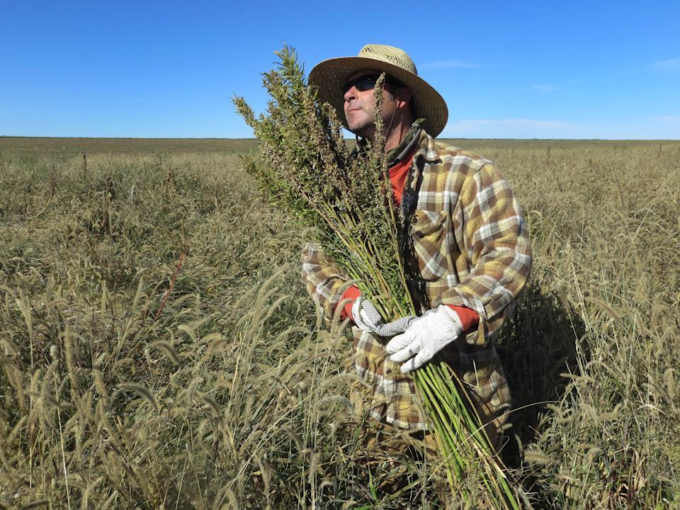 Hemp Going Legit: Some Wonder if Pot is Far Behind