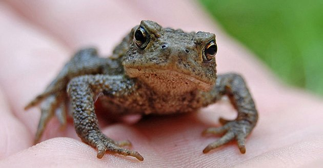 Toads could be used to forecast earthquakes days before they happen