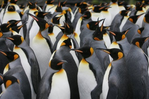 &lt;p&gt;A colony of King penguins in Antarctica. Argentine experts have discovered fossils of a two-meter (6.5 foot) tall penguin that lived in Antarctica 34 million years ago.&lt;/p&gt;
