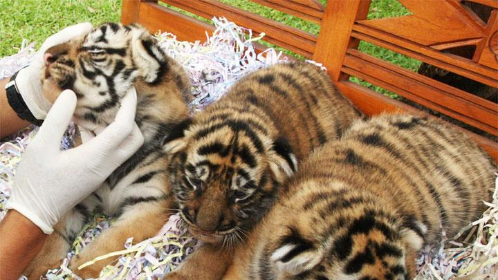 A veterinarian examines three 20-day-old Bengal tiger cubs at Bali Zoo Park, in Gianyar, Bali resort island June 29, 2012. The Bengal tiger is a tiger subspecies native to India, classified as endangered by the International Union for Conservation of Nature (IUCN) with estimated population of less than 2,500. Picture taken June 29, 2012. REUTERS/Stringer