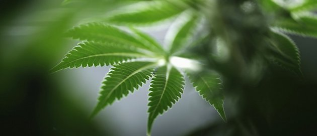 Marijuana Can Help Slow Cancer Tumor Growth, Scientists Say