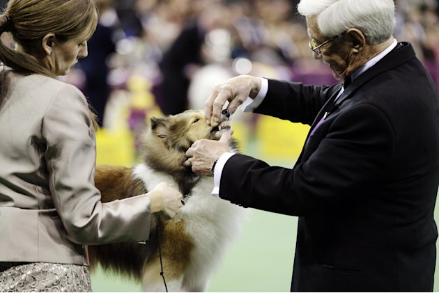 A Shetland sheepdog is judged during the hearding group at the Westminster Kennel Club dog show, Monday, Feb. 11, 2013, at Madison Square Garden in New York. (AP Photo/Frank Franklin II)