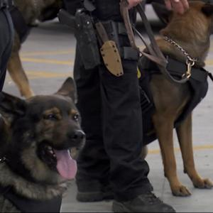 DoJ: Ferguson Cops Only Set Police Dogs On African-Americans