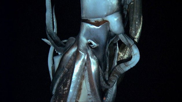 Screen grab from footage captured by NHK and Discovery Channel taken in July 2012 shows a giant squid in the sea near Chichi island. The squid was spotted at a depth of 630 meters using a submersible in July, some 15 km east of Chichi island in the north Pacific Ocean