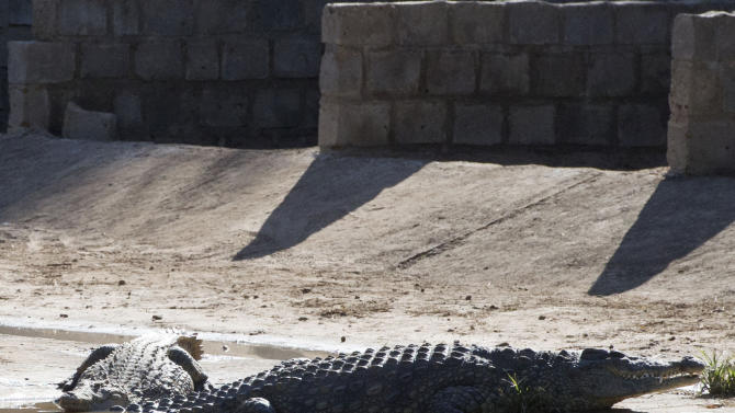 This photo taken Wednesday, Jan. 23, 2013 shows a couple of the recaptured crocodiles  back safely on the farm they escaped from, at Pontdrif, South Africa, near the Botswana border. About 7,000 of the creatures escaped when the gates on a dam were opened this week to alleviate pressure created by rising flood waters. About 2,000 had been recaptured Friday, Jan. 25, 2013. Video from the scene shows people hunting down the small-ish crocs at night, tying them up and taking them back to the Rakwena Crocodile Farm, in northern South Africa. The farm, which didn't respond to an email or calls seeking comment, used to hold 15,000 crocodiles (AP Photo) SOUTH AFRICA OUT