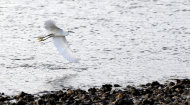 In this Monday, Dec. 17, 2012 photo, a snowy egret flies over the water during an annual 24-hour Christmastime ritual to count birds along the Texas Gulf Coast in Mad Island, Texas. The data collected, with the help of more than 50 other volunteers spread out into six groups across the 7,000-acre Mad Island preserve, will be regionally and nationally analyzed, landing in a broad database that includes results from hundreds of other bird counts going on nationally during a two week period. What began 113 years ago as an Audobon Society protest to annual bird hunts that left piles of carcasses littered in different parts of the country now helps scientists understand how birds react to short-term weather events, such as drought and flooding, and seek clues on how they might behave as temperatures rise and climate changes. (AP Photo/David J. Phillip)