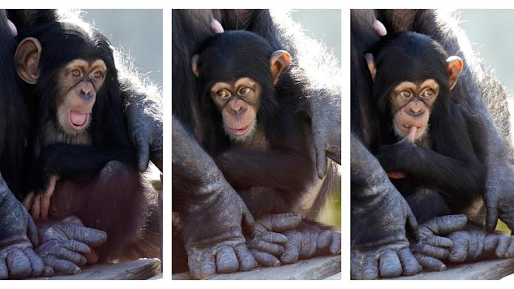 In this three picture combo, a baby chimp shows a variety of expressions as it sits in its mother's arms at Chimp Haven in Keithville, La., Tuesday, Feb. 19, 2013. One hundred and eleven chimpanzees will be coming from a south Louisiana laboratory to Chimp Haven, the national sanctuary for chimpanzees retired from federal research. (AP Photo/Gerald Herbert)