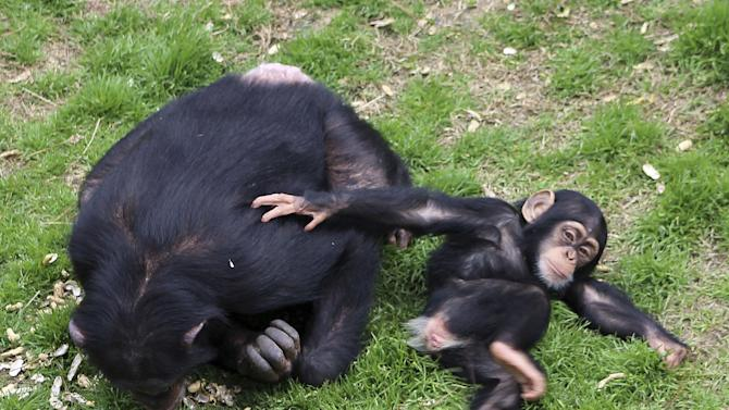 In this photo taken Feb. 19, 2013, a baby chimp lounges with its mother at Chimp Haven in Keithville, La. One hundred and eleven chimpanzees will be coming from a south Louisiana laboratory to Chimp Haven, the national sanctuary for chimpanzees retired from federal research. More than 22,000 great apes are estimated to have been traded illegally over a seven-year period ending in 2011. That's about 3,000 a year; more than half are chimpanzees, the U.N. report said. (AP Photo/Janet McConnaughey)