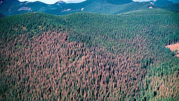 Satellites Spy Beetle Attacks on Forests