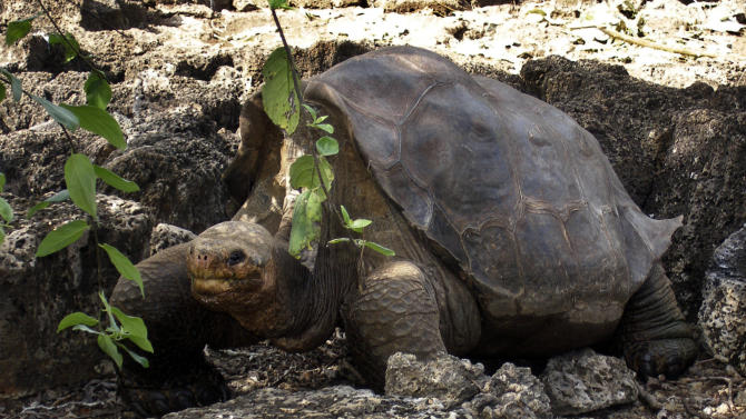 FILE-   In this July 21, 2008 file photo released by Galapagos National Park, a giant tortoise named